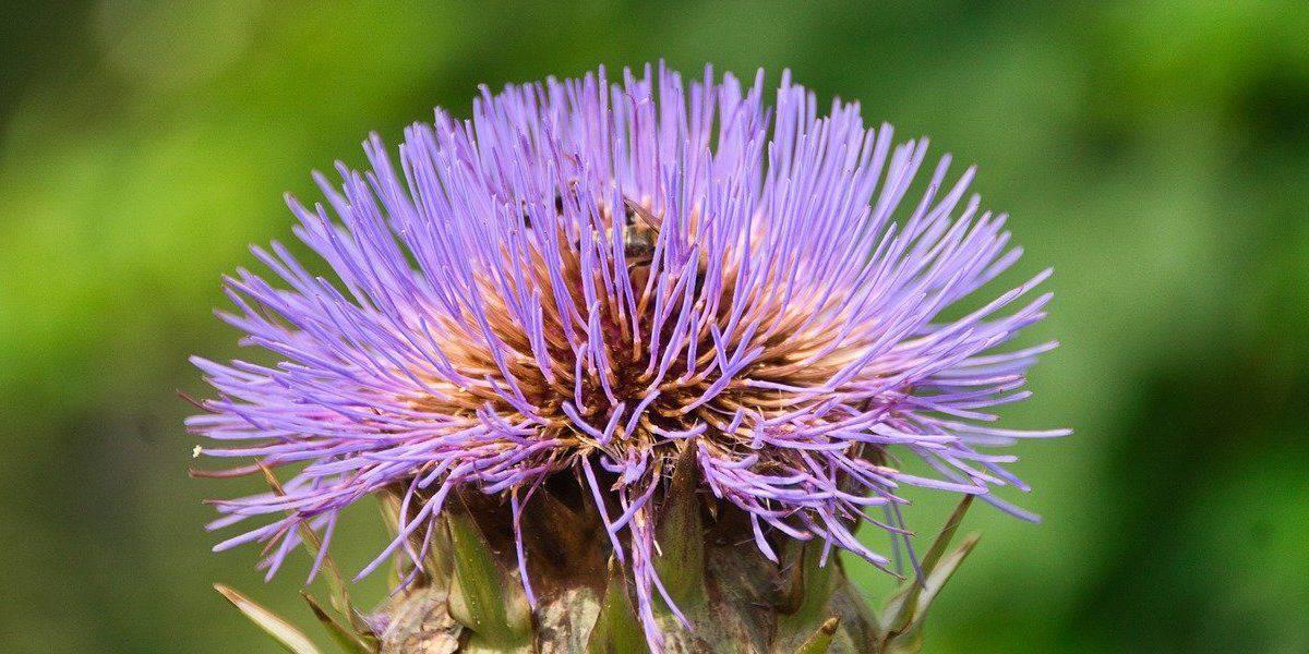 O óleo de cártamo é extraído da semente das flores de cártamo.